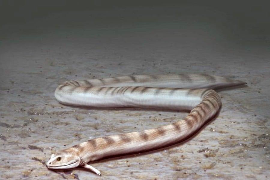 Adelospondylus 01