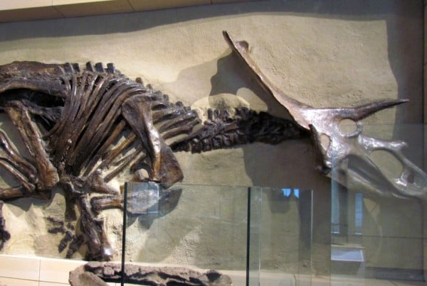 Anchiceratops 01