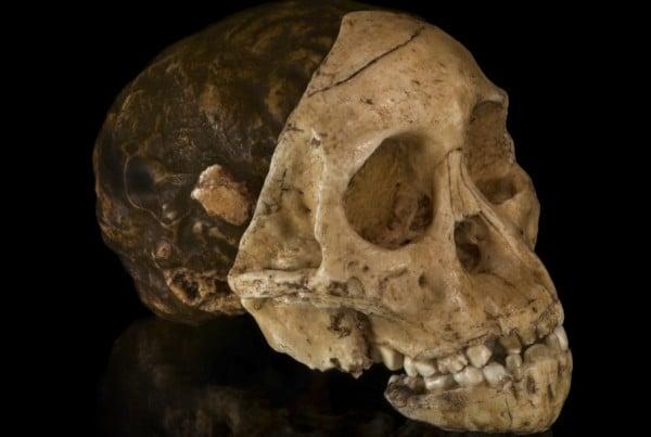 Australopithecus 01