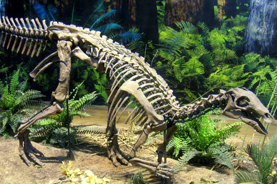 Camptosaurus Amigos De Los Dinosaurios Y La Paleontologia Ornitisquios (cadera de ave) y saurisquios (cadera de reptil). camptosaurus amigos de los