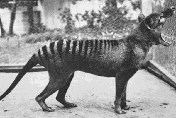 Tigre de Tasmania 01